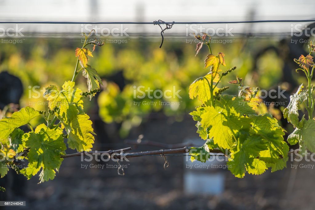Young branch with sunlights in vineyards stock photo