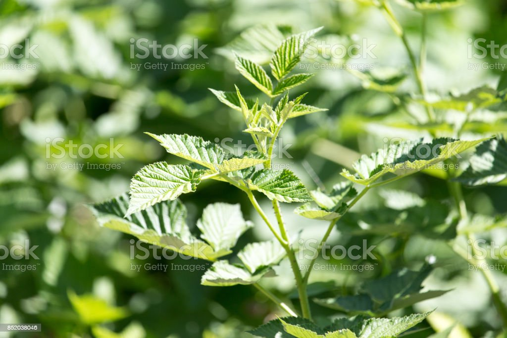 young branches of raspberry stock photo