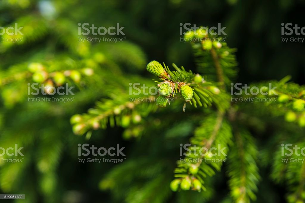 Young branches of spruce stock photo