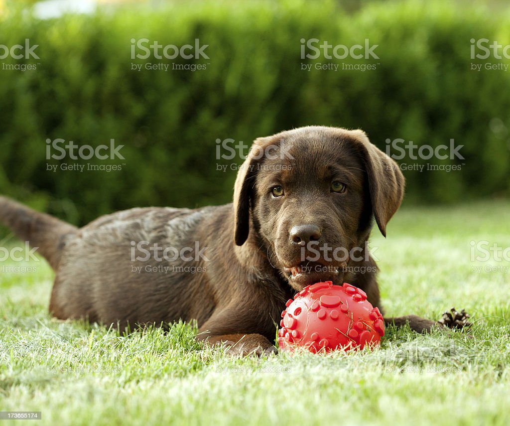 young breed chocolate Labrador dog royalty-free stock photo
