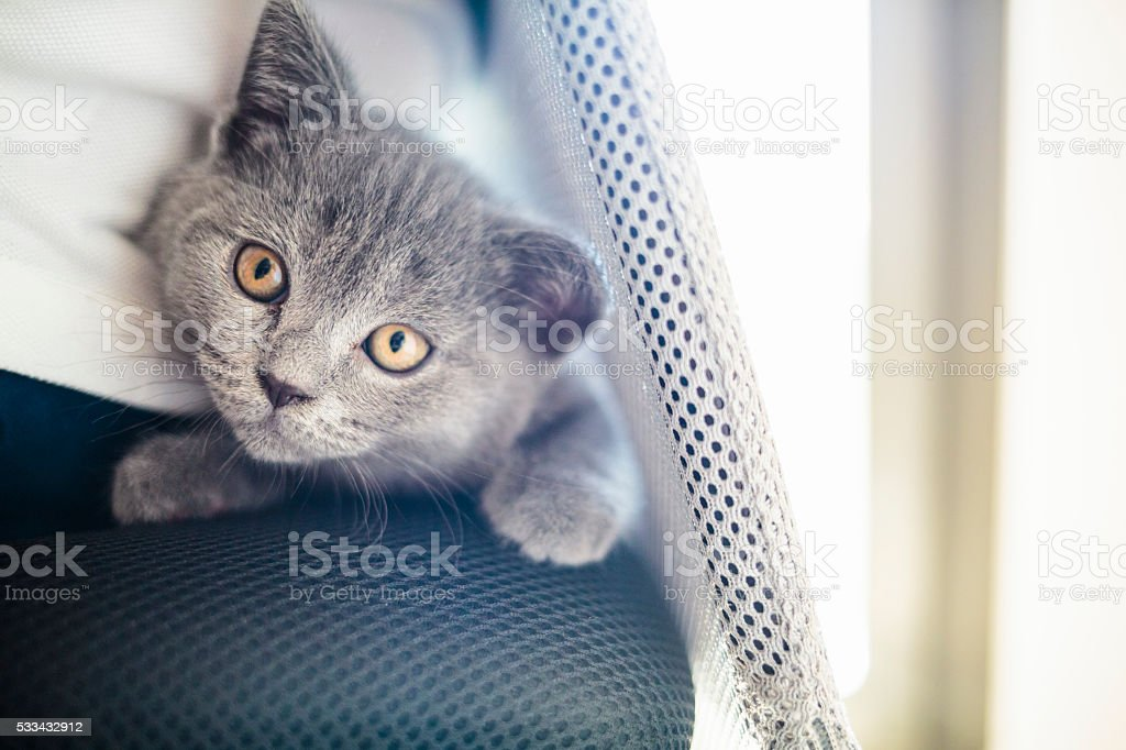 Young british kitten playing stock photo