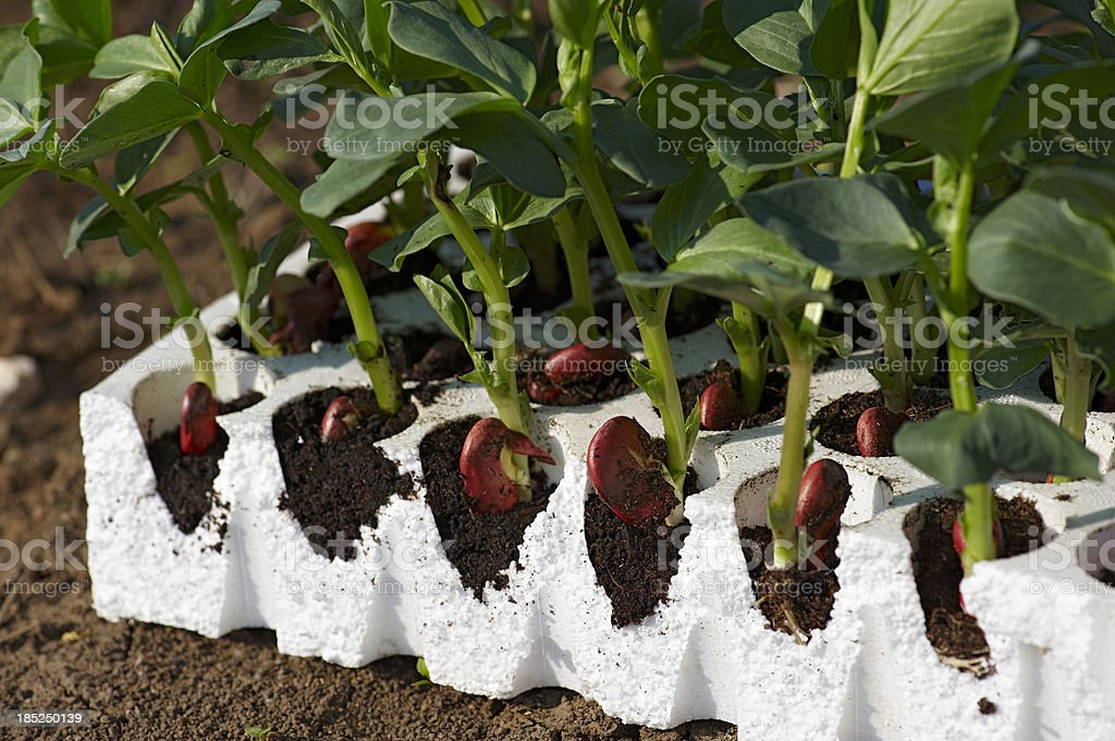 Young Broad Bean Plants royalty-free stock photo