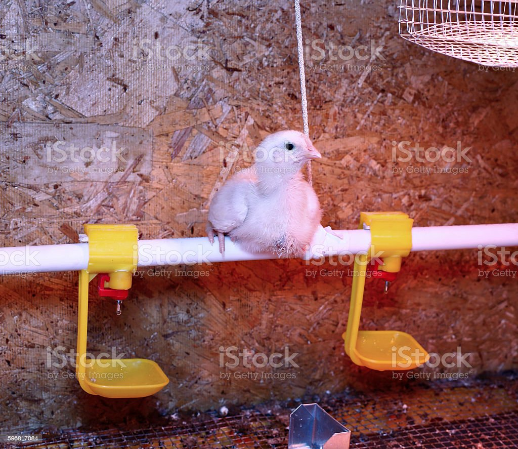 Young broiler chicken is heated by an infrared lamp stock photo