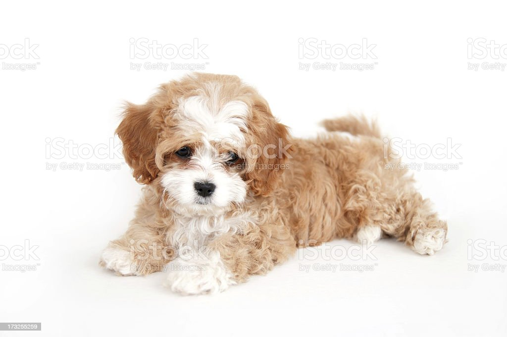 Young brown and white cavapoo puppy stock photo
