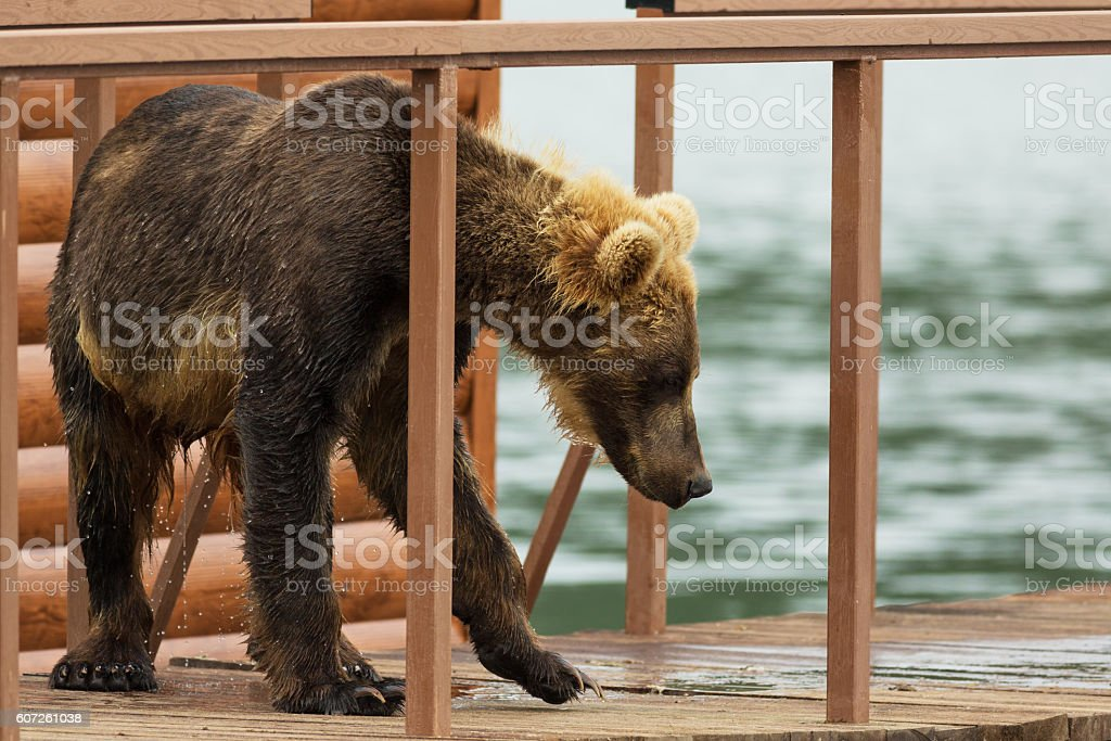 Young brown bear looks prey on fence to account for stock photo