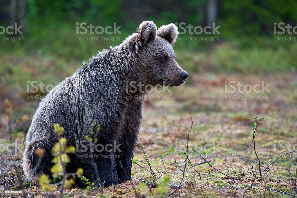 Young Brown Bear sitting in the rain, swamp area, wildlife-shot royalty-free stock photo
