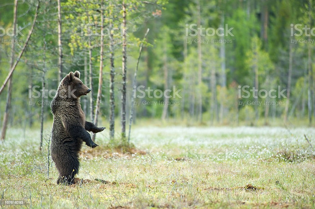 Young Brown Bear standing in a swamp, wildlife-shot stock photo