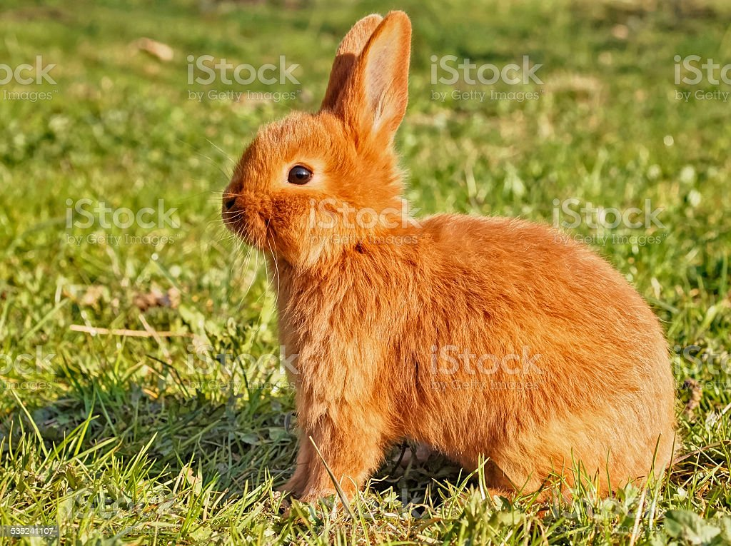 young brown bunny stock photo