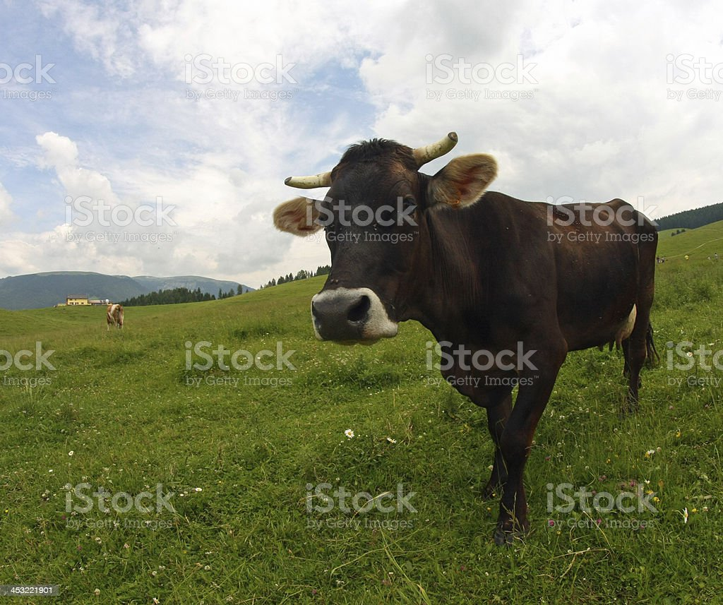young brown cow grazing stock photo