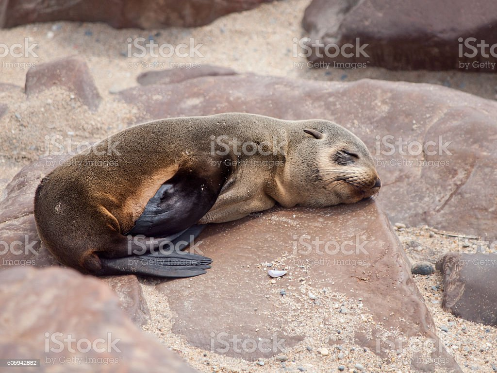 Young brown fur seal sleaping on the rock stock photo