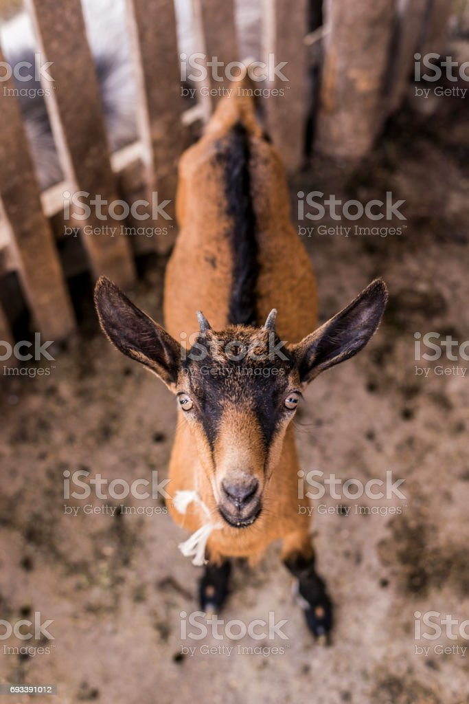 young brown goat with horns standing and looking at camera stock photo
