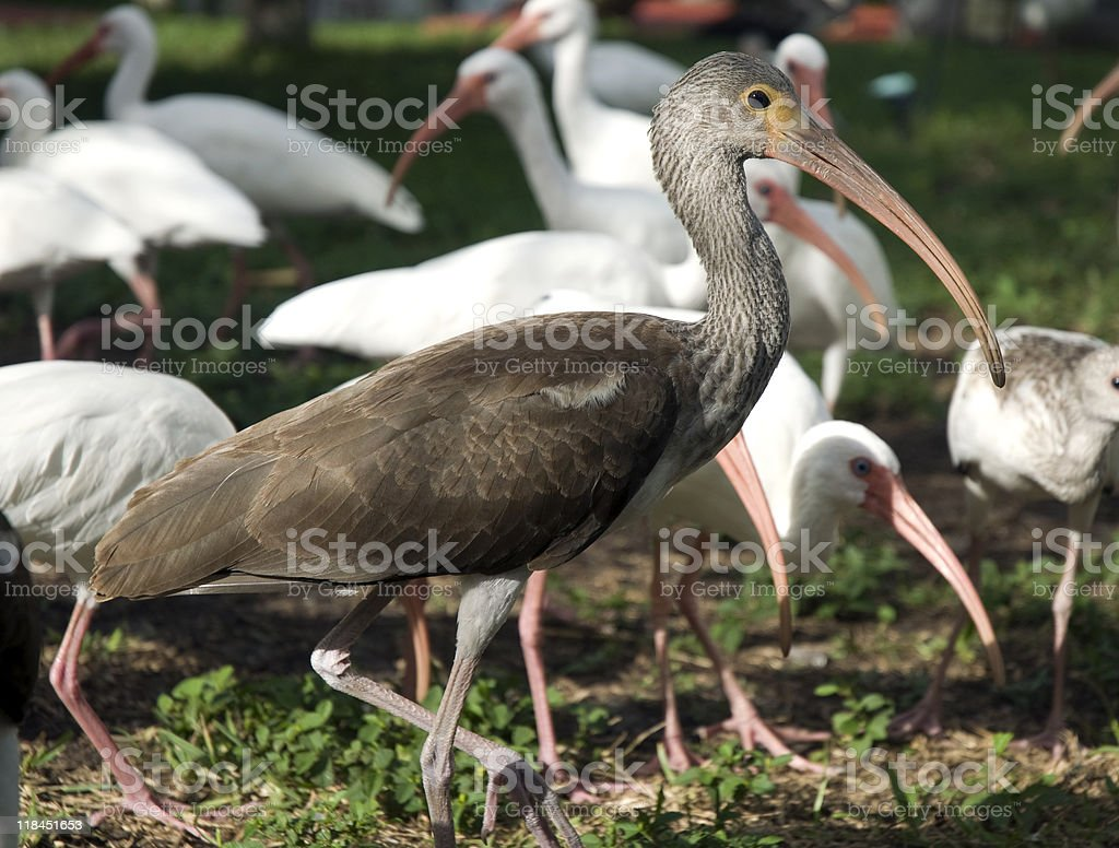 Young Brown Ibis Bird With Flock stock photo