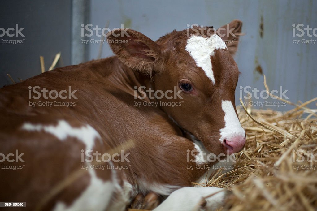 young brown or red calf oin straw of barn stock photo