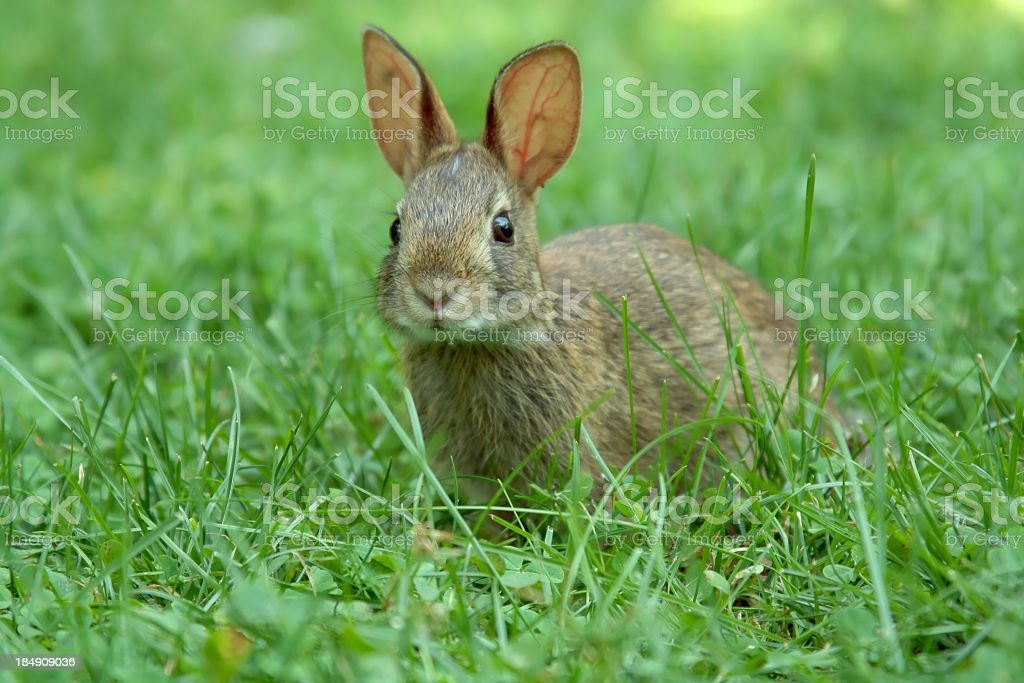 A young brown rabbit in a green garden royalty-free stock photo