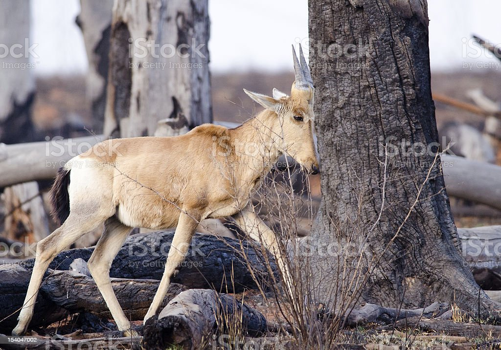 Young buck amongst dead trees stock photo