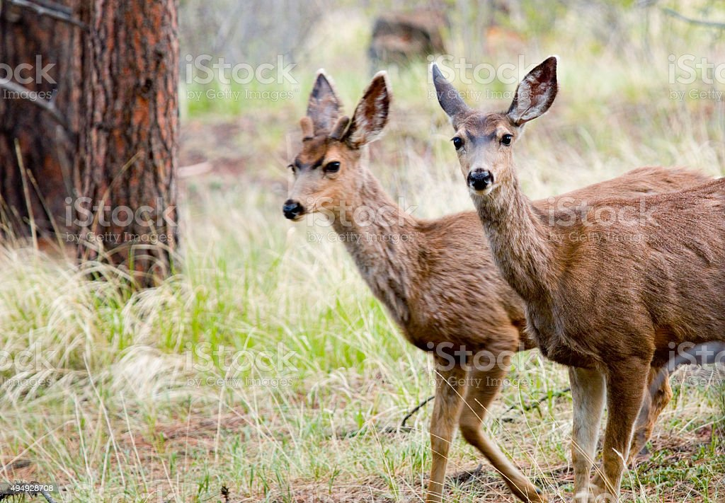 Young Buck and Doe in the Pike National Forest stock photo