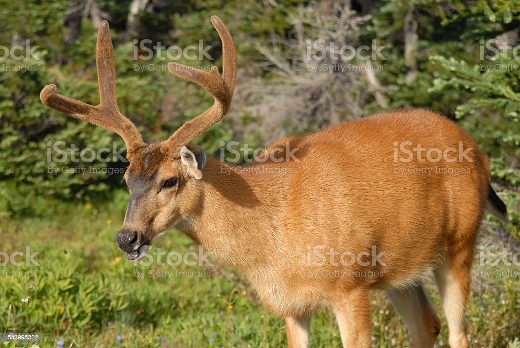 Young buck stock photo