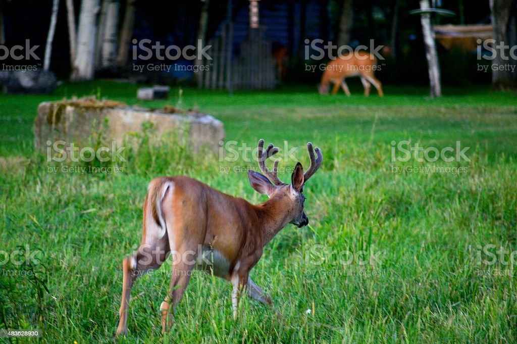 Young Buck Stalks His Doe in Campground Area stock photo