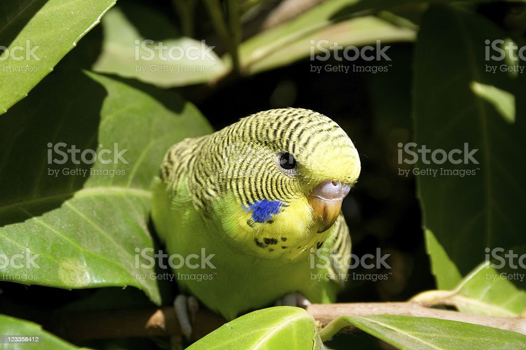Young budgie in a tree stock photo