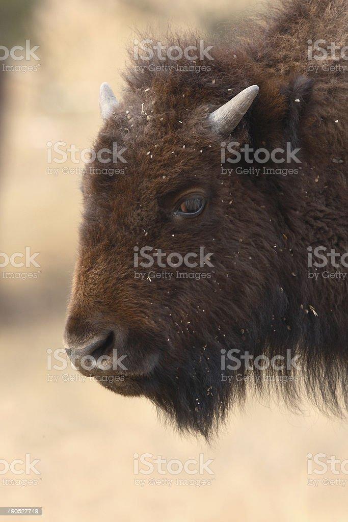 Young Buffalo Portrait stock photo