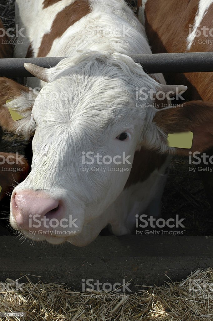 Young bull on farm royalty-free stock photo
