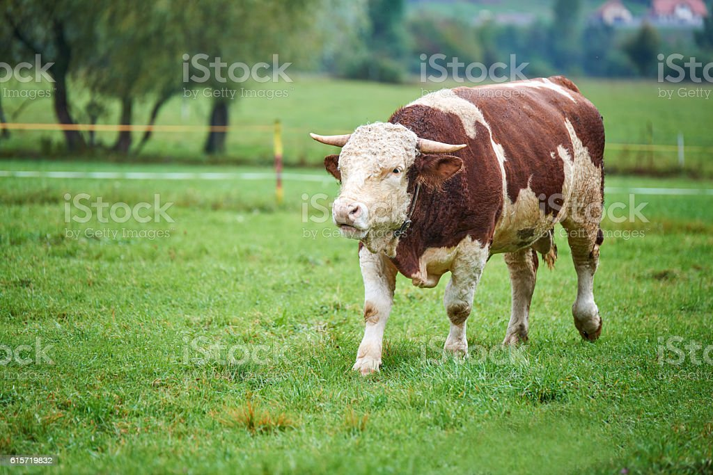 Young Bull on the pasture stock photo