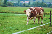 Young Bull on the pasture
