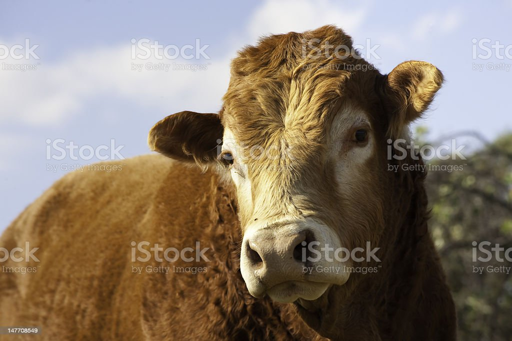 Young Bull royalty-free stock photo
