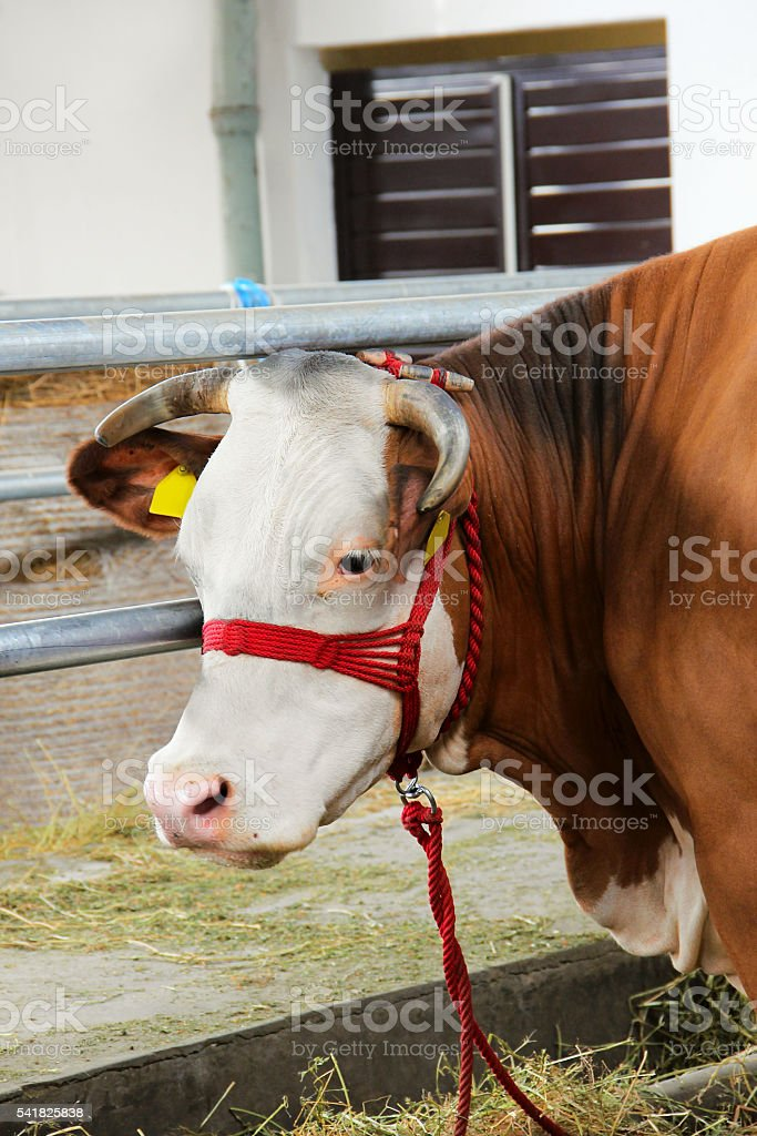 Young bull standing in the barn stock photo