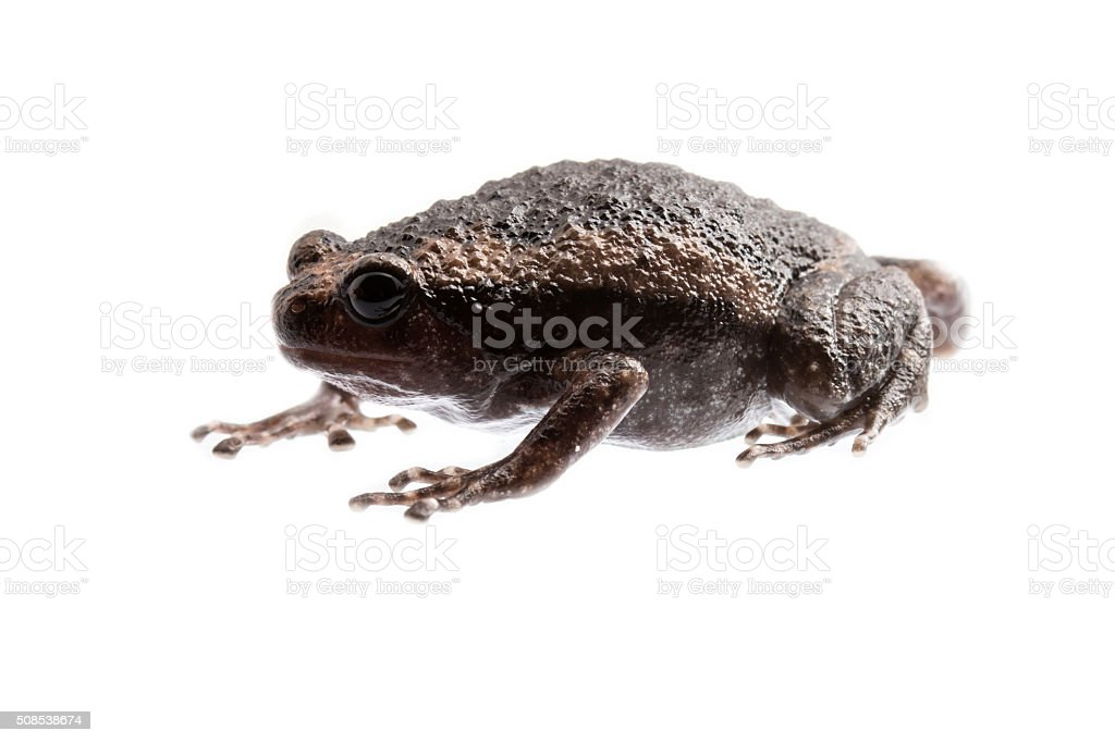 young bullfrog on white background. stock photo