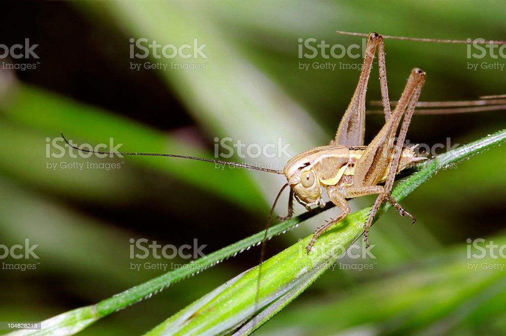 Young bush cricket stock photo