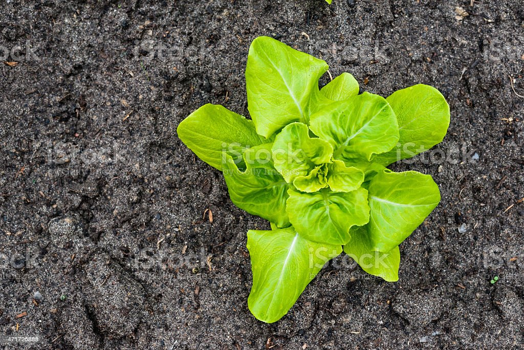 Young Butterhead lettuce plant from above stock photo