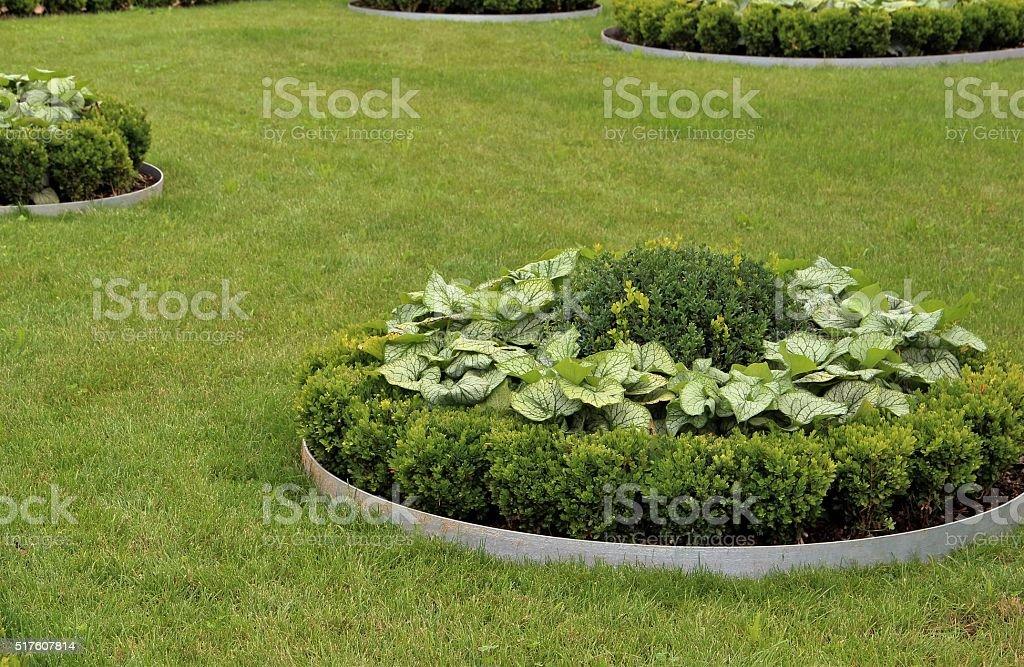 Young buxus plants stock photo