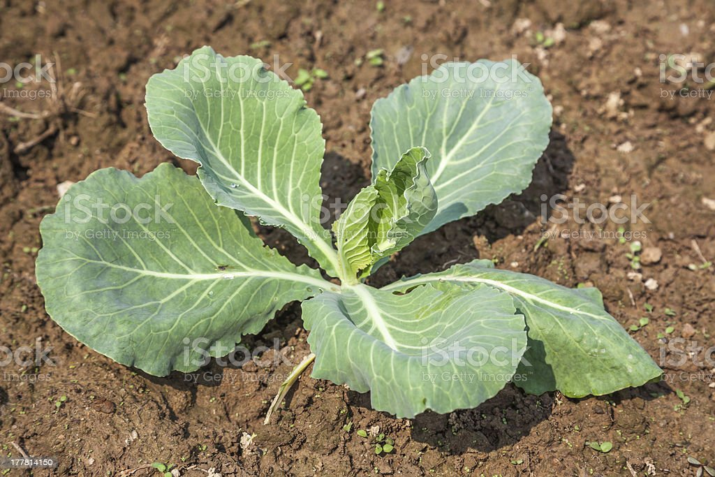 young cabbage royalty-free stock photo