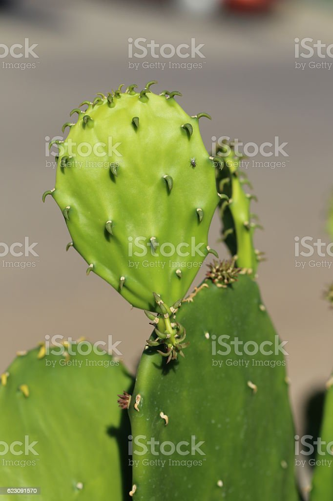 Young Cactus Leaves. stock photo