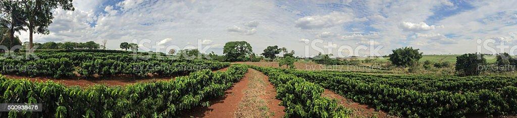 Young caffee plantation landscape farm stock photo