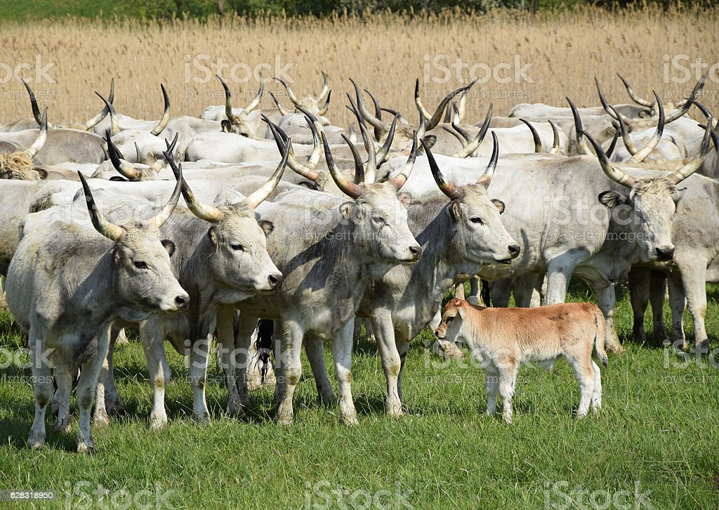 Young calf and wild cattles stock photo