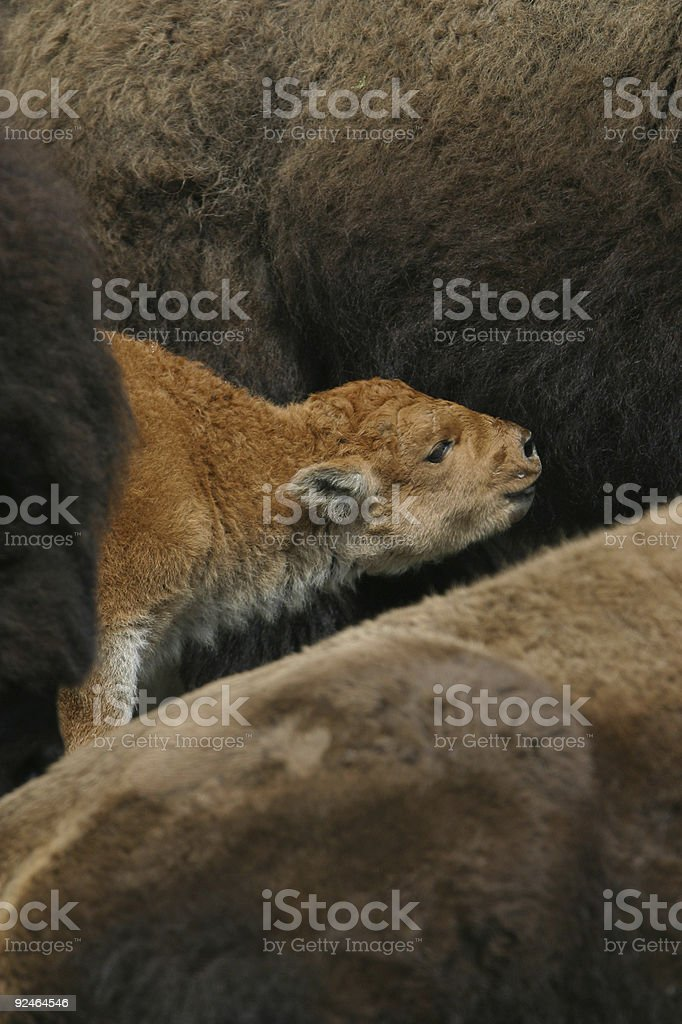young calf drinking royalty-free stock photo