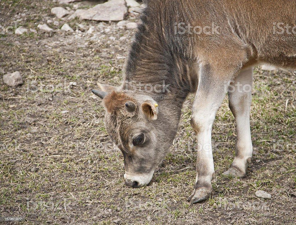 Young calf eating royalty-free stock photo