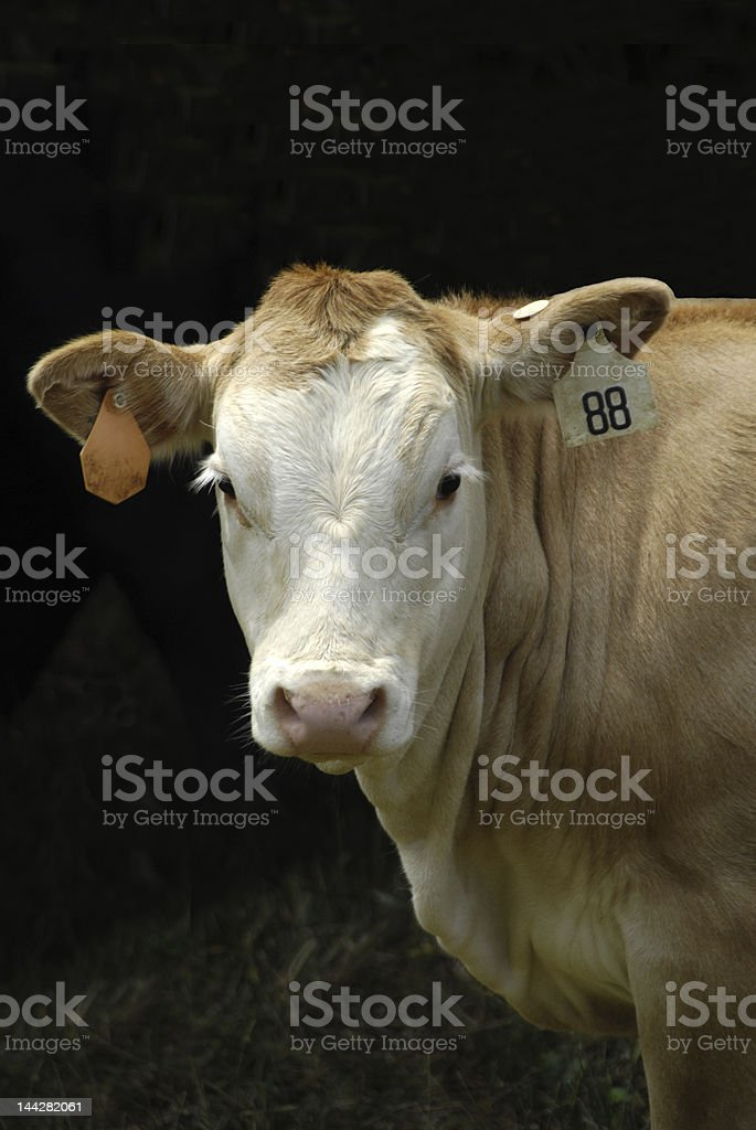 Young Calf royalty-free stock photo