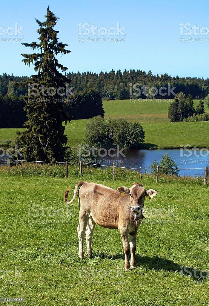 young calf stock photo