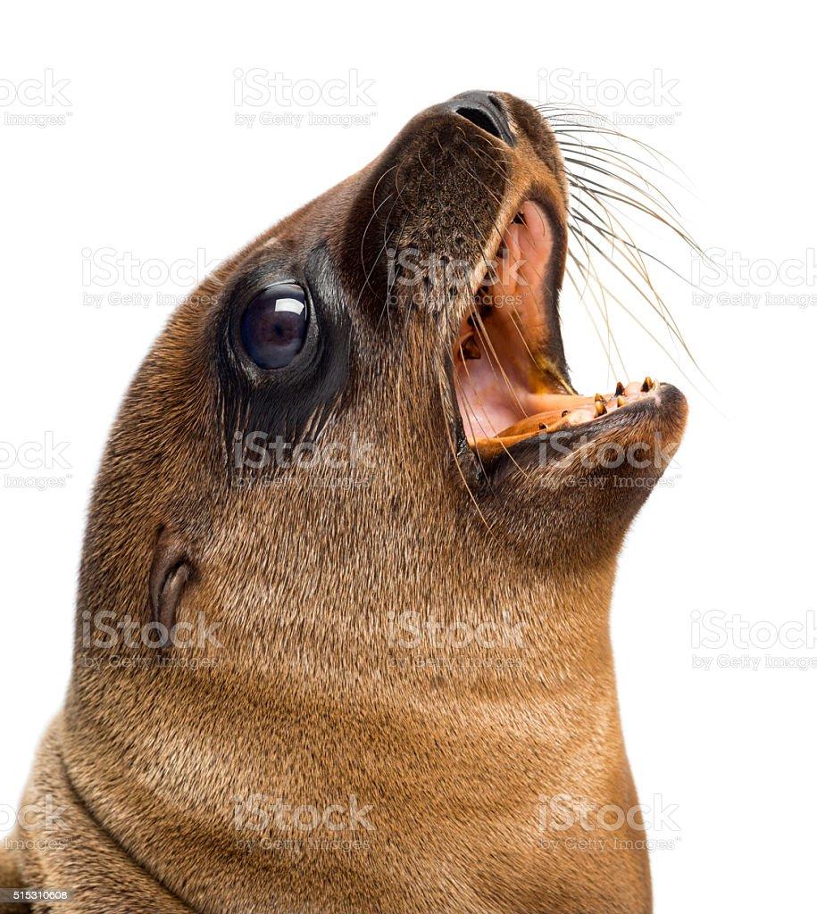 Young California Sea Lion, Zalophus californianus, 3 months old stock photo