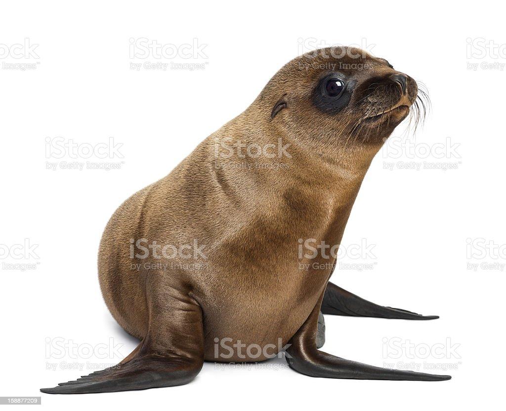 Young California Sea Lion, Zalophus californianus, looking away stock photo