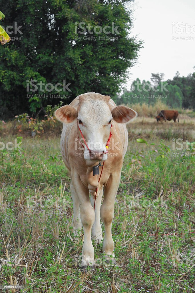 Young calves in the pasture with green grass stock photo