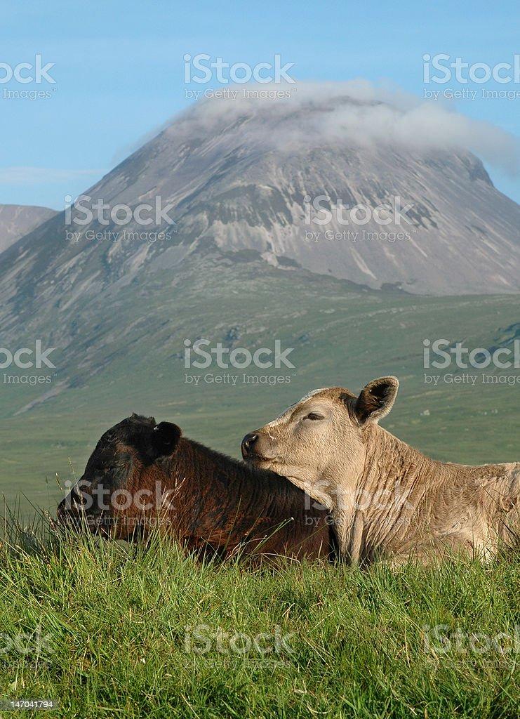 Young Calves stock photo