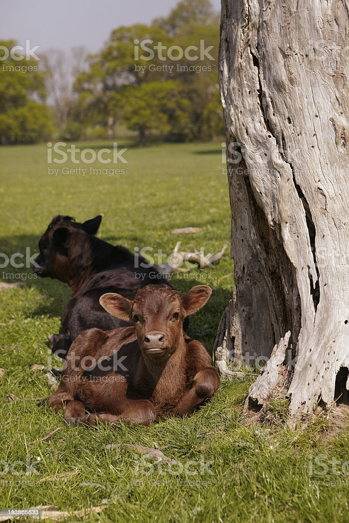 Young calves sitting under a tree royalty-free stock photo