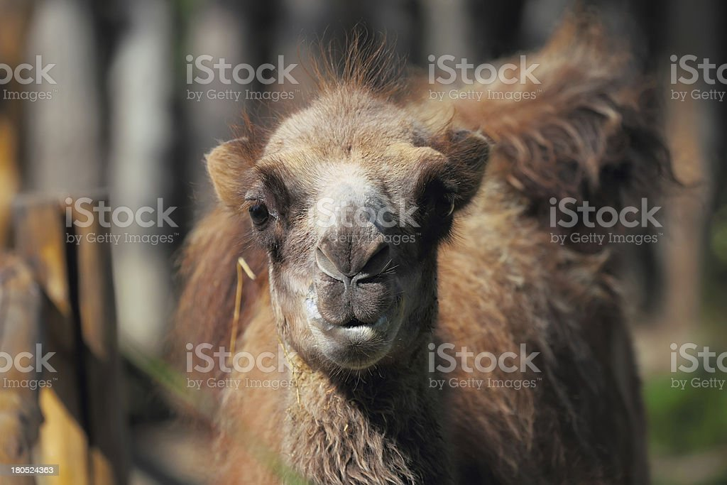 Young camel in zoo royalty-free stock photo
