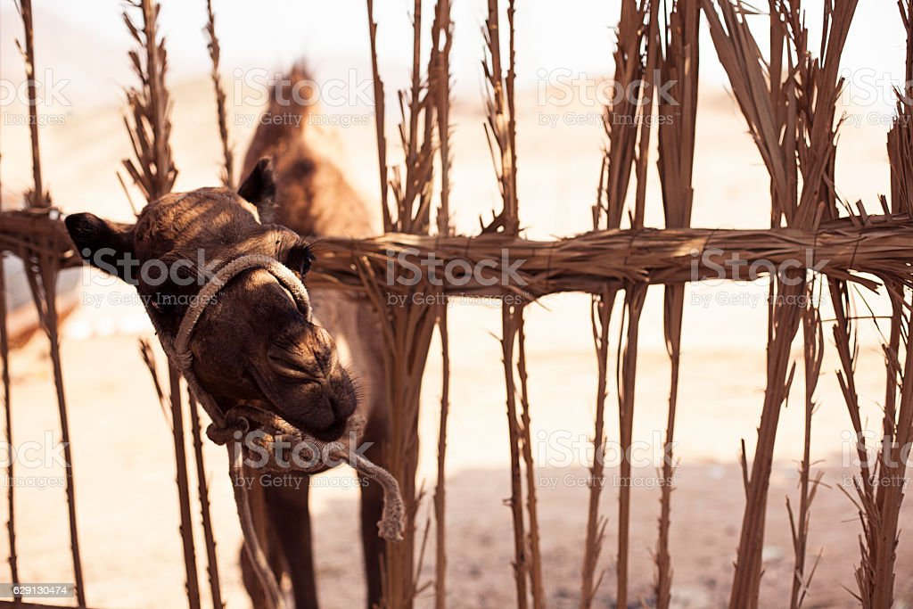 Young camel looks from behind a fence stock photo