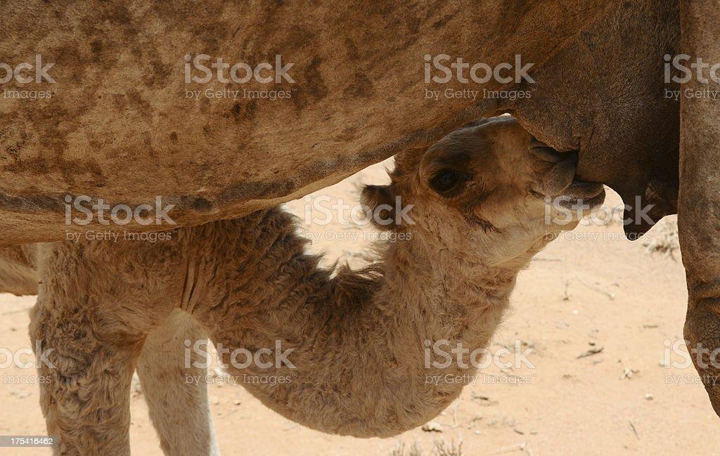 Young camel suckling, somaliland royalty-free stock photo