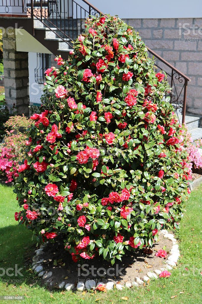 Young Camellia japonica blooming in spring, Italy stock photo